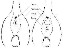 Schémas de sexage des chatons