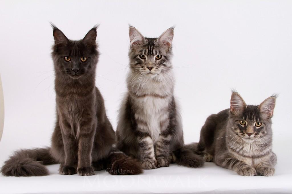 Nos trois chatons Maine coon âgés de 5 mois .