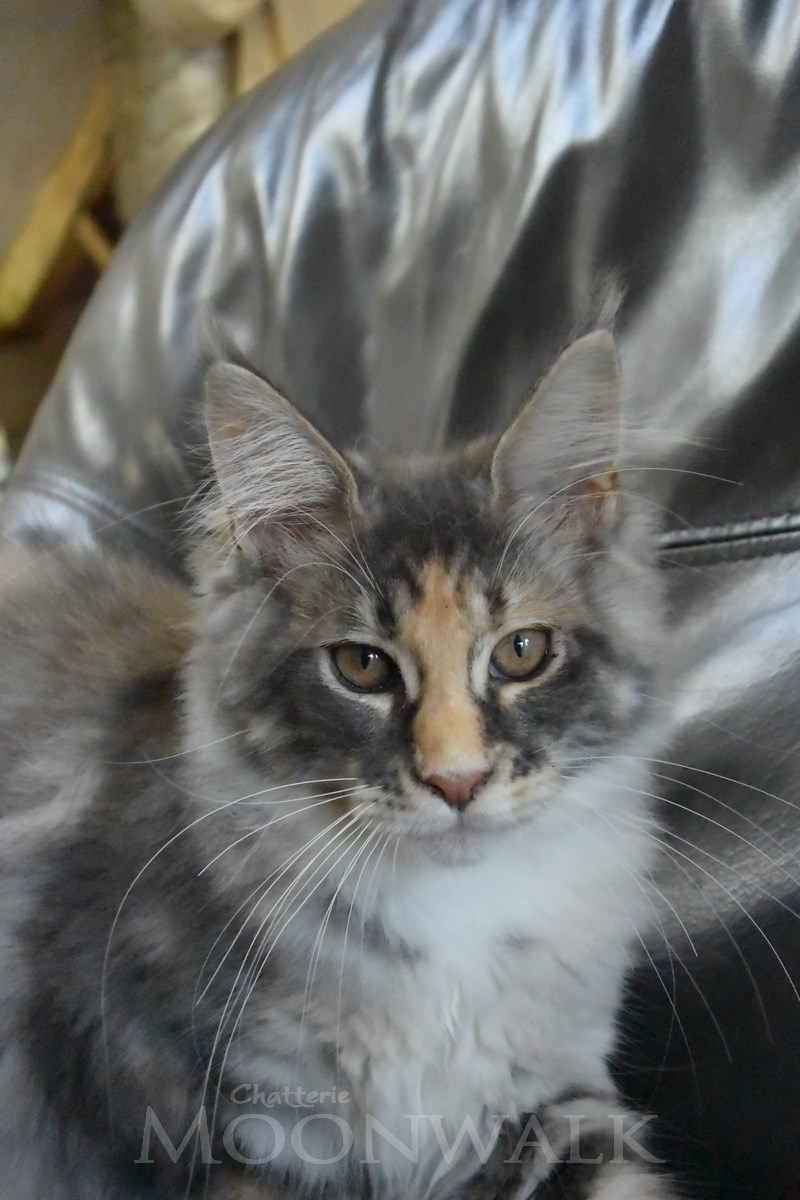 Armando Look at me baby femelle blue silver tortie tabby et blanc