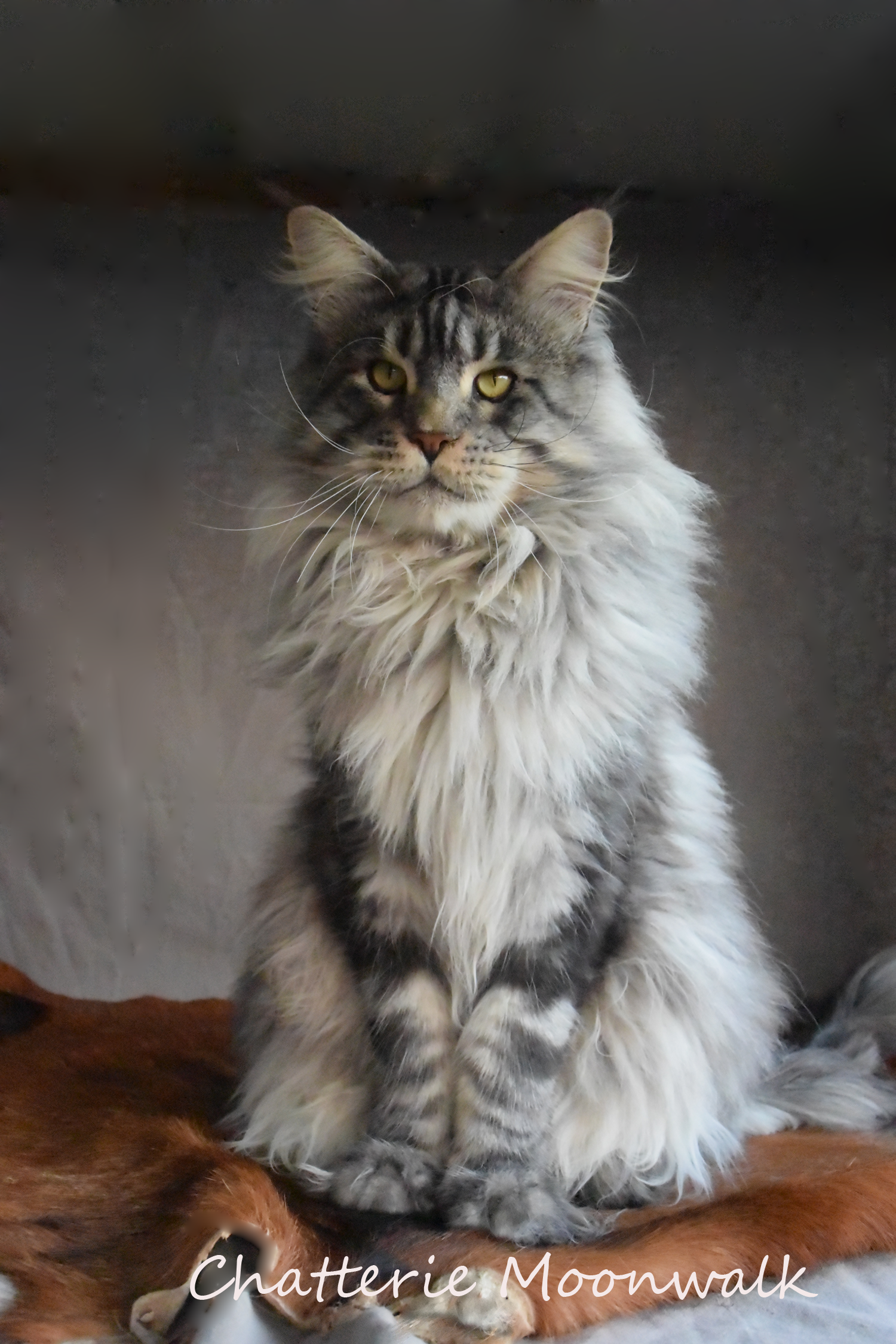 maine coons chatterie moonwalk. Black Bedroom Furniture Sets. Home Design Ideas