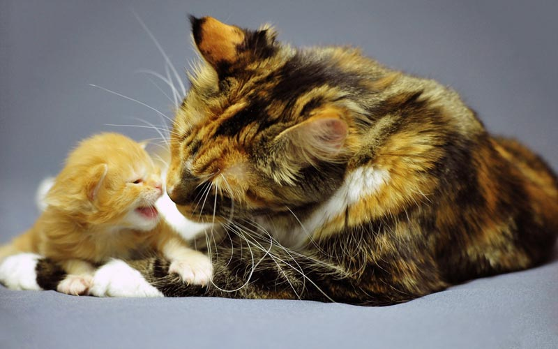 Chatte et chaton Maine coon