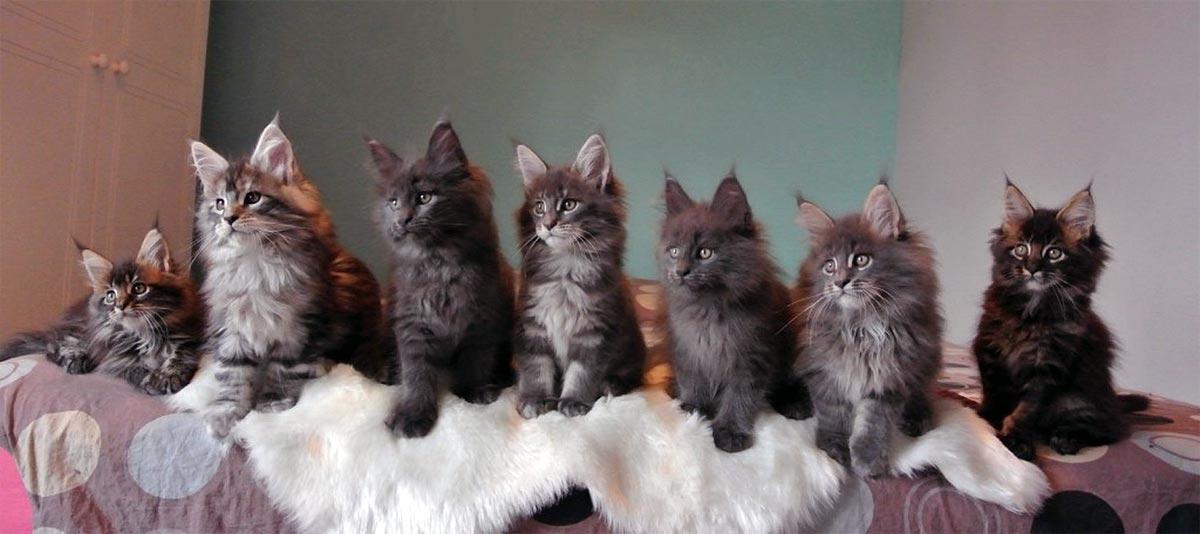 Portée de chatons Maine Coon à la Chatterie Moonwalk