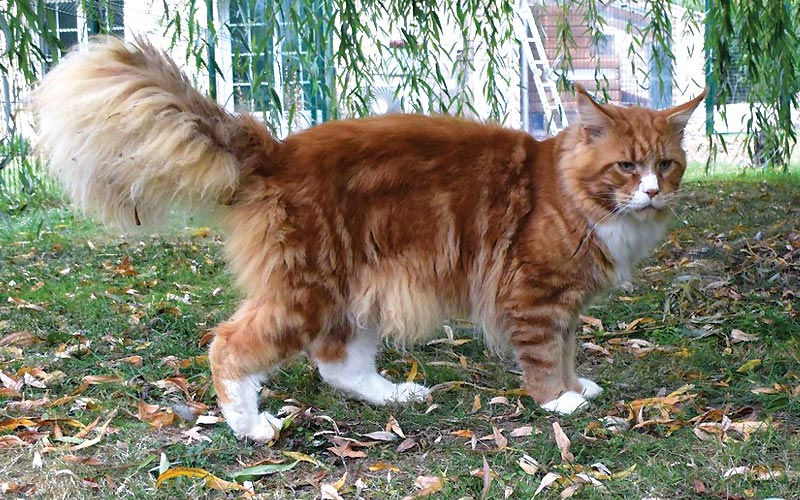 Summerplace Alabama - Maine coon - Chatterie Moonwalk