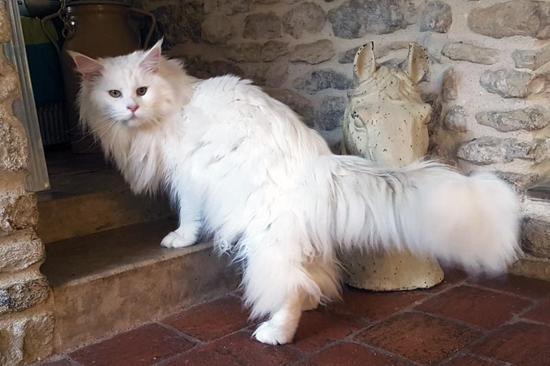 Summerplace Snowflake - Maine coon - Chatterie Moonwalk