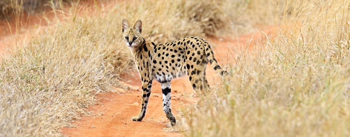 Le Serval, ancêtre du Savannah